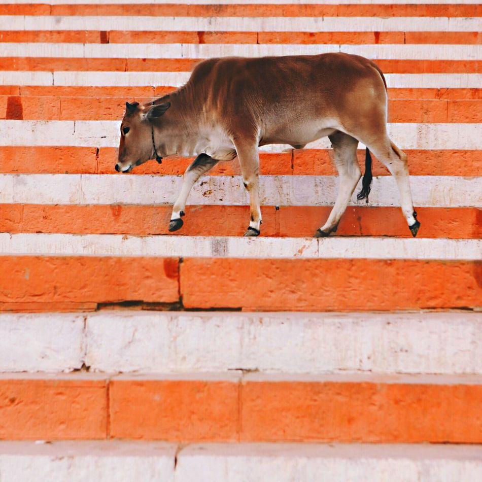 Beautiful stock photos of orange, Cattle, Day, Domestic Animals, Full Length