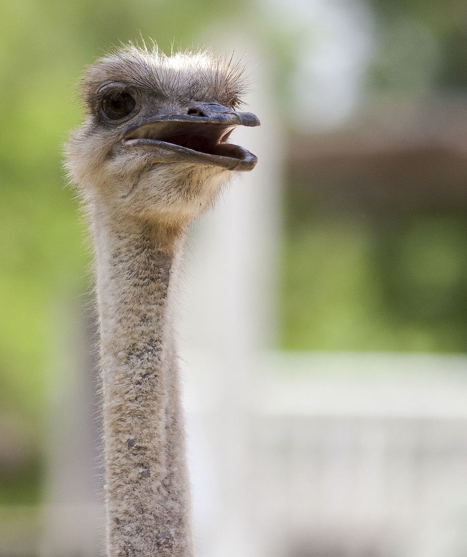 Animal Themes Animal Wildlife Animals In The Wild Beak Bird Close-up Day Focus On Foreground Nature No People One Animal Ostrich Outdoors Portrait