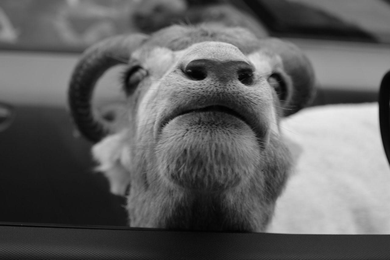 Goat Animals Cute Blackandwhite
