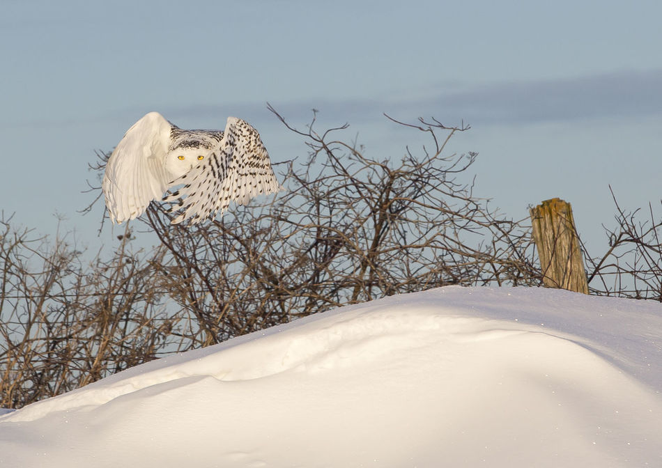 Snow owl flying Beauty Beauty In Nature Cold Temperature Day Flying Frozen Hunting Nature No People Outdoors Owl Sky Snow Snow Owl Tree Weather Winter