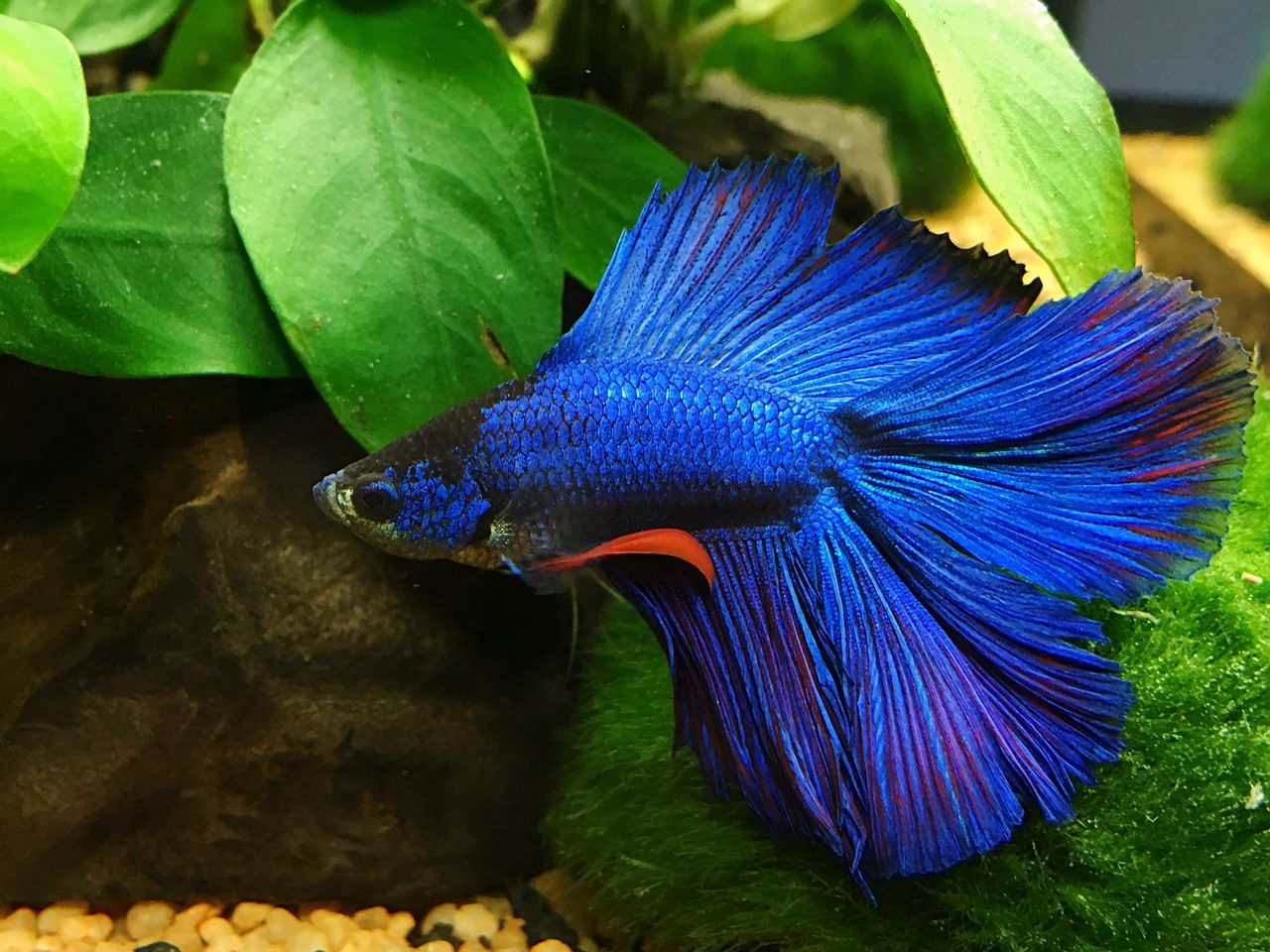 Betta Splendens Betta Fish Betta  Bettafish Betta Lovers Betta Splendens Pesce Combattente Fresh Water Fish Fish Fishes Acquarium Aquarium Acquario Aquarium Life Fresh Water Aquarium Fresh Water Close Up Close-up Nature Animal Animals Pesce Pesci