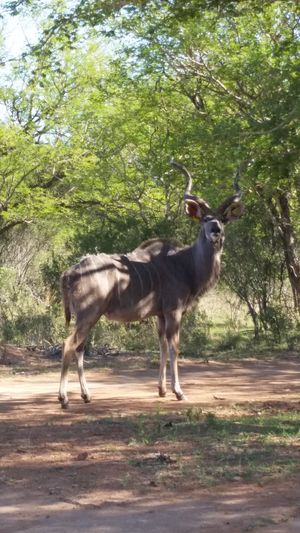Animal Themes Mammal Tree Standing Day Nature No People Outdoors Animals In The Wild Kudu Bull Kudu Kudu Horn Camouflage Hidding In The Shadows Camouflage Animals Dappled Sunlight