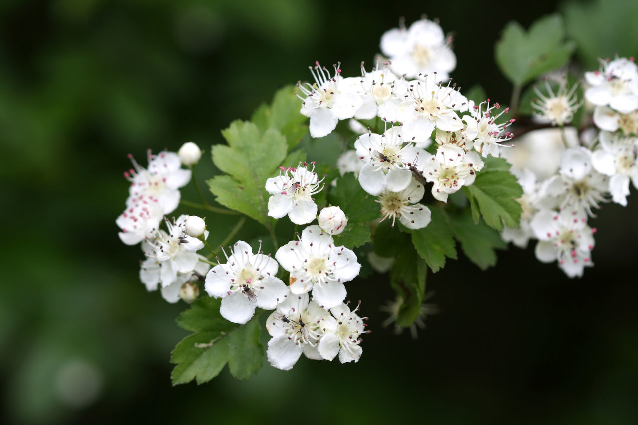 Hawthorn blossom Blossom Bush Close-up Flower Flower Head Garden Growth Hawthorn Leaf Nature No People Outdoors Petal White Color