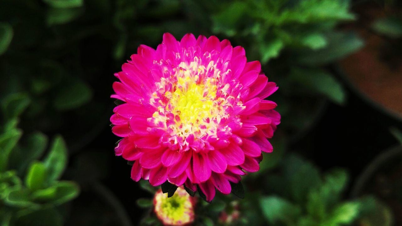 flower, beauty in nature, nature, petal, growth, flower head, fragility, pink color, freshness, no people, plant, close-up, blooming, day, focus on foreground, outdoors, zinnia