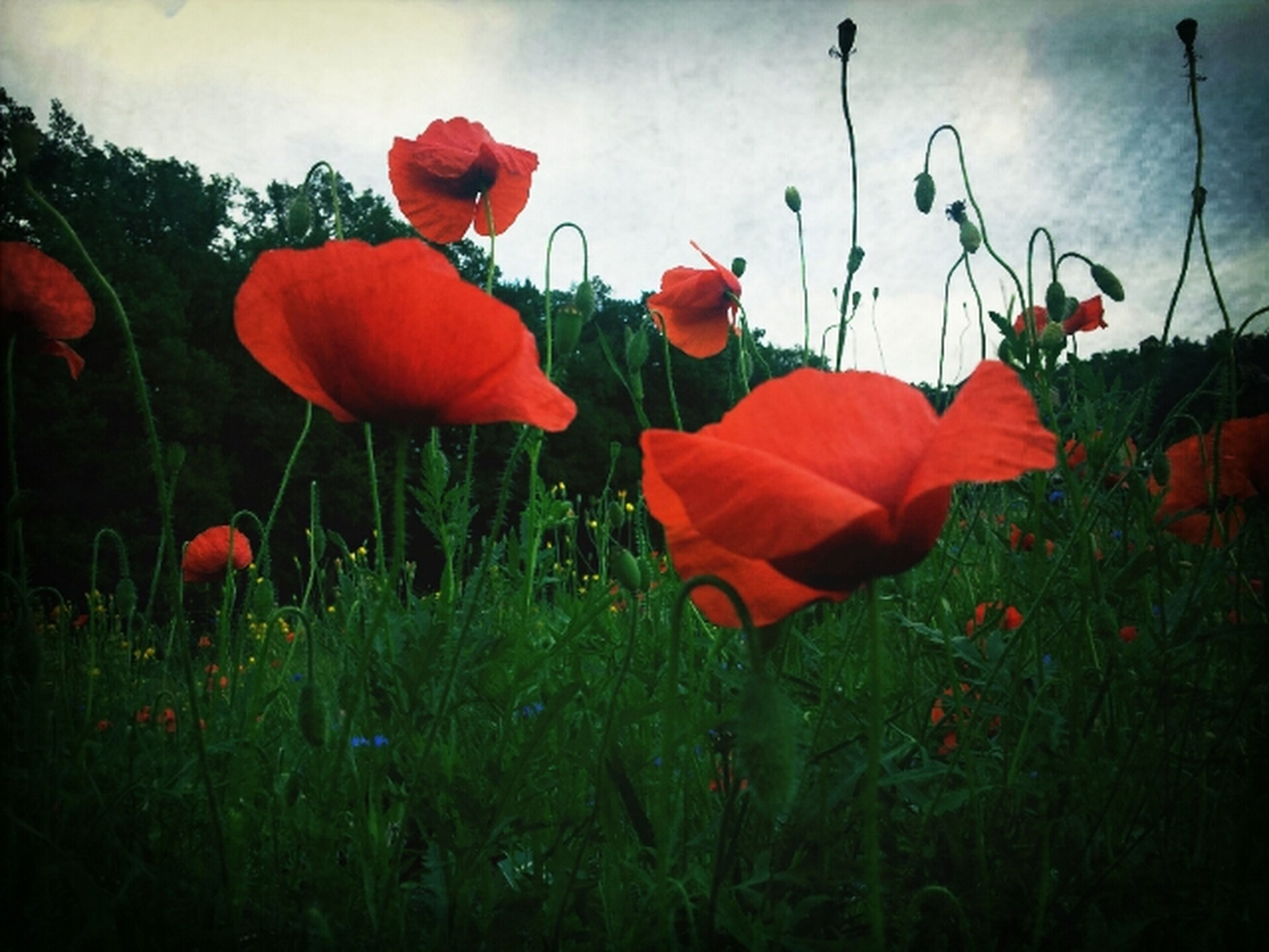 flower, freshness, petal, fragility, red, growth, beauty in nature, flower head, poppy, plant, field, nature, blooming, stem, tulip, in bloom, sky, close-up, blossom, botany