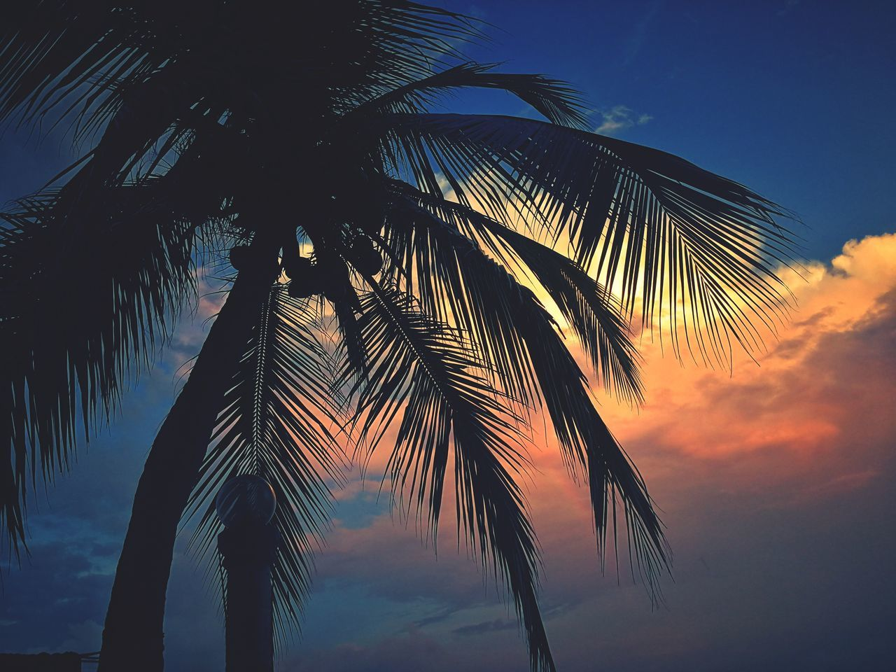 palm tree, tree, nature, sky, low angle view, beauty in nature, palm frond, scenics, tranquility, growth, blue, palm leaf, tree trunk, outdoors, no people, idyllic, tranquil scene, sea, sunset, day