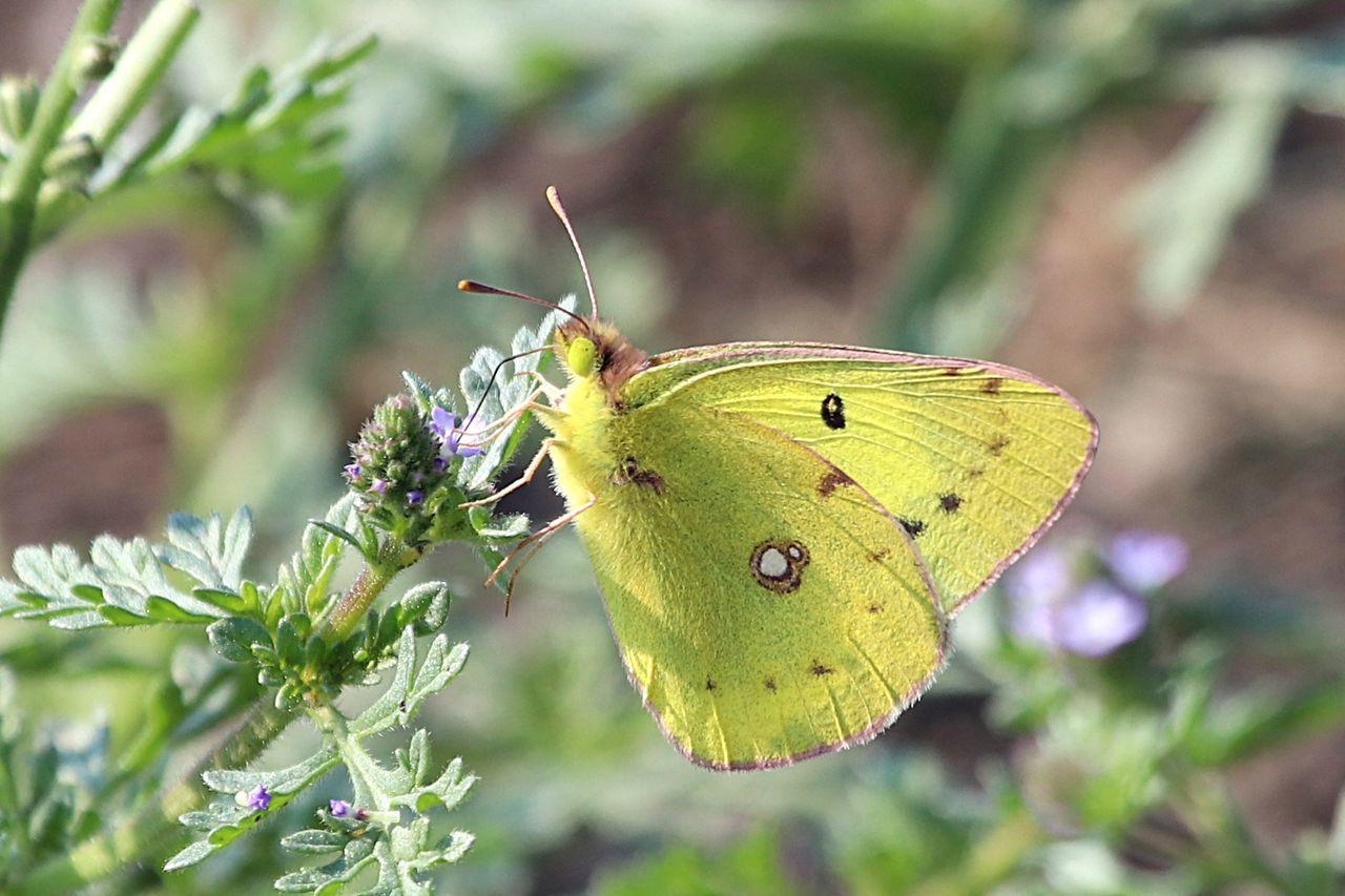insect, animal themes, animals in the wild, one animal, focus on foreground, nature, animal wildlife, day, no people, leaf, outdoors, butterfly - insect, close-up, plant, green color, growth, beauty in nature, flower, full length, fragility, perching, freshness