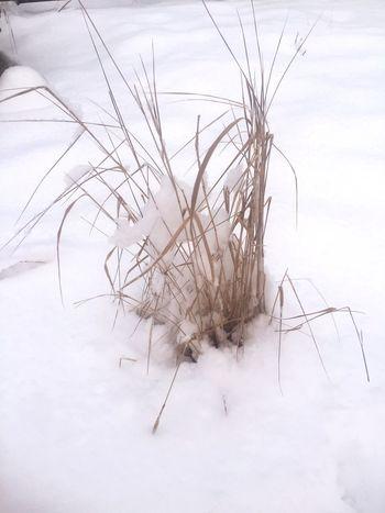 Grass snow Alaska
