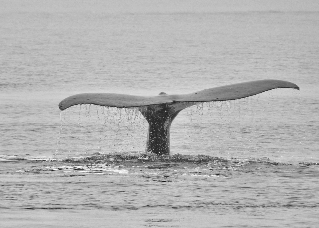 Beautiful stock photos of wal,  Animal Themes,  Animal Wildlife,  Animals In The Wild,  Aquatic Mammal