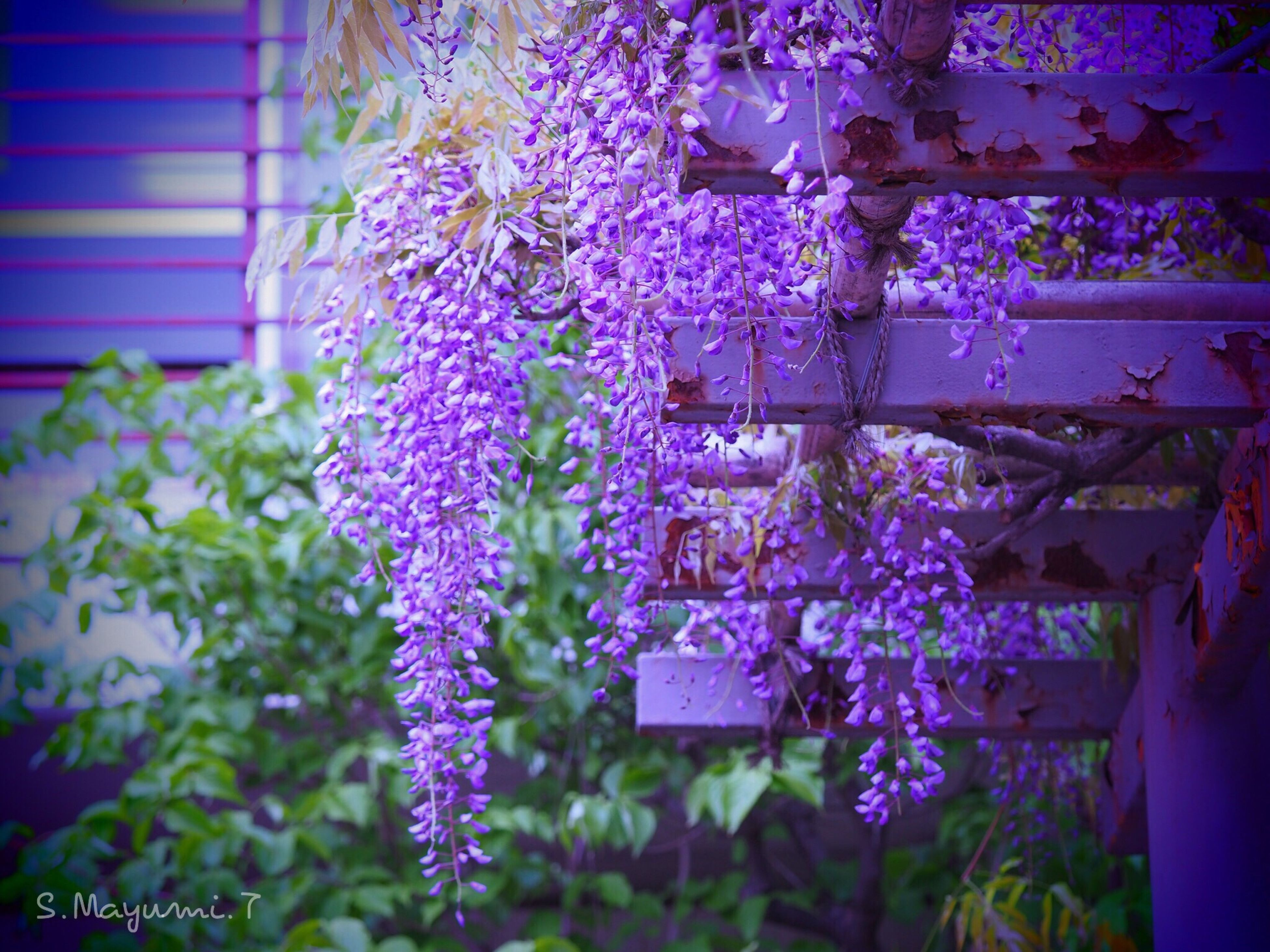 flower, wisteria, purple, focus on foreground, beauty in nature, freshness, fragility, growth, no people, close-up, day, hanging, nature, springtime, blooming, branch, tree, outdoors, flower head