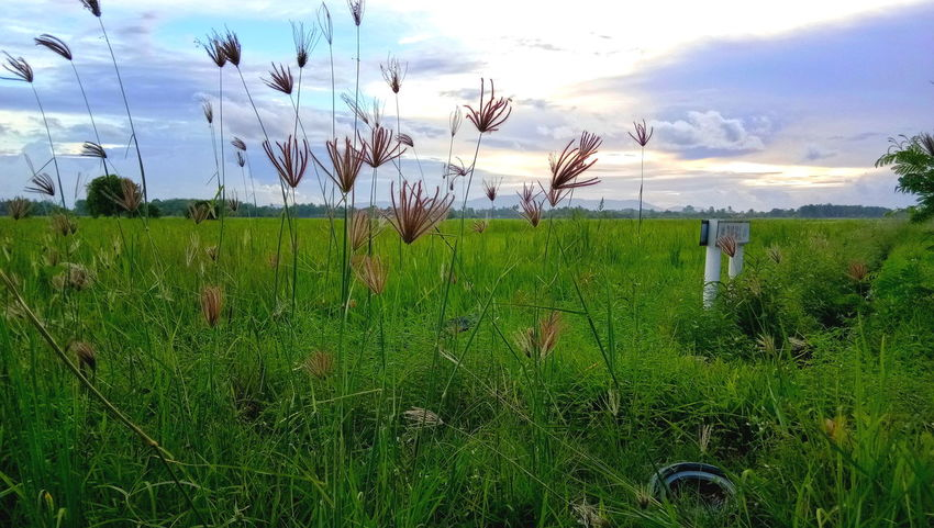 Field Grass Outdoors Green Color No People Sky Paddy Field Nature Landscape