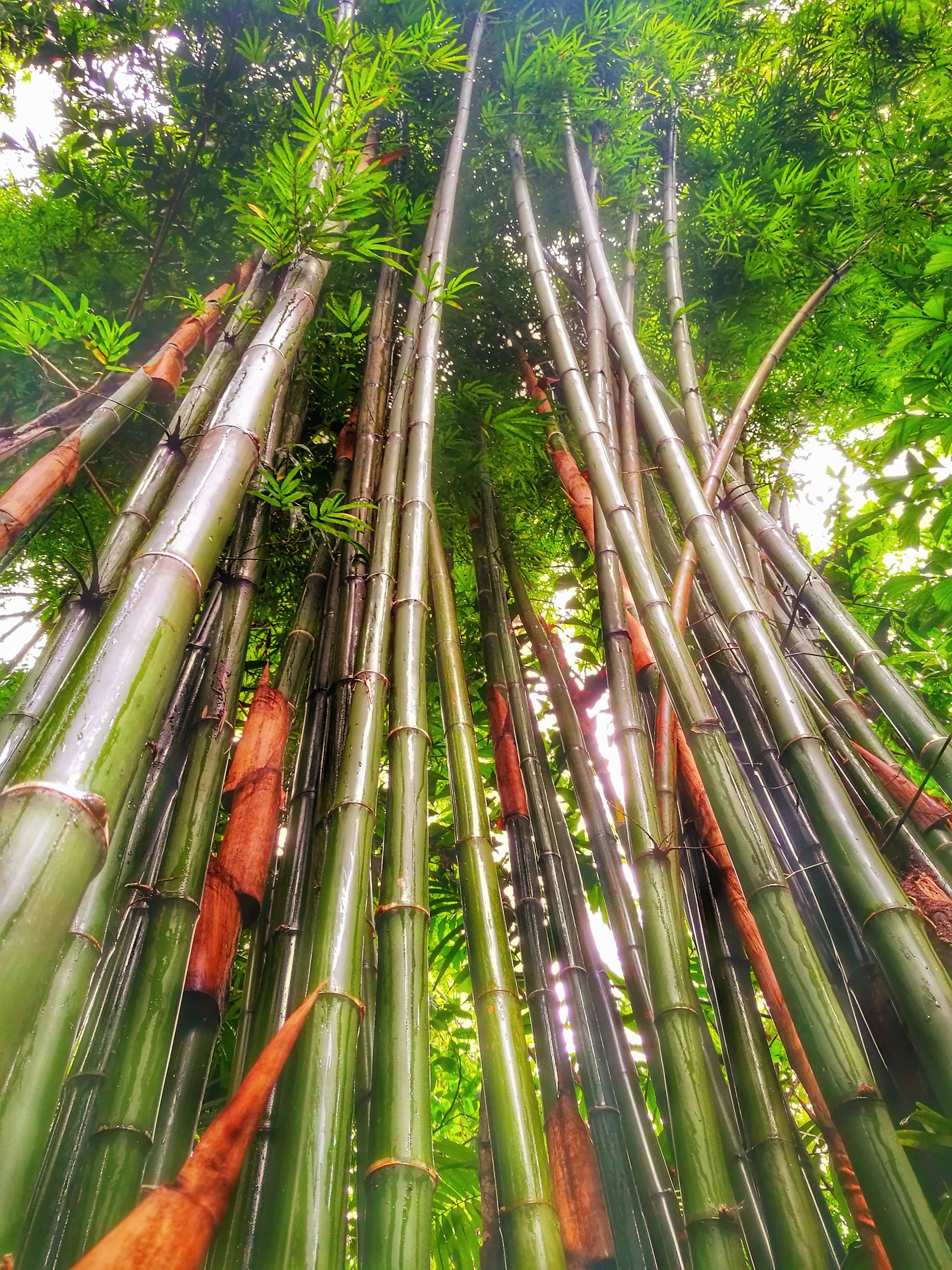 tree, growth, bamboo grove, nature, low angle view, bamboo - plant, no people, green color, outdoors, forest, day