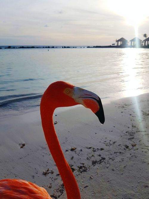 Flamingo Sunset Aruba Aruba One Happy Islan Aruba One Happy Island Beach Renaissanceisland No People Sea Water Blue Sky Blue Water Swimming White Sand Horizon Over Water Outdoors Sand Nature Day Bonaire Curacao