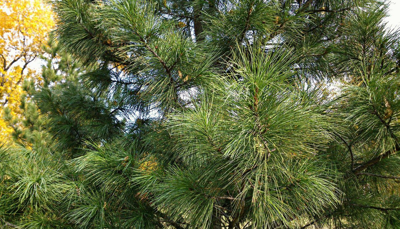 Coniferous Piny Confère De Pin хвойные сосновые