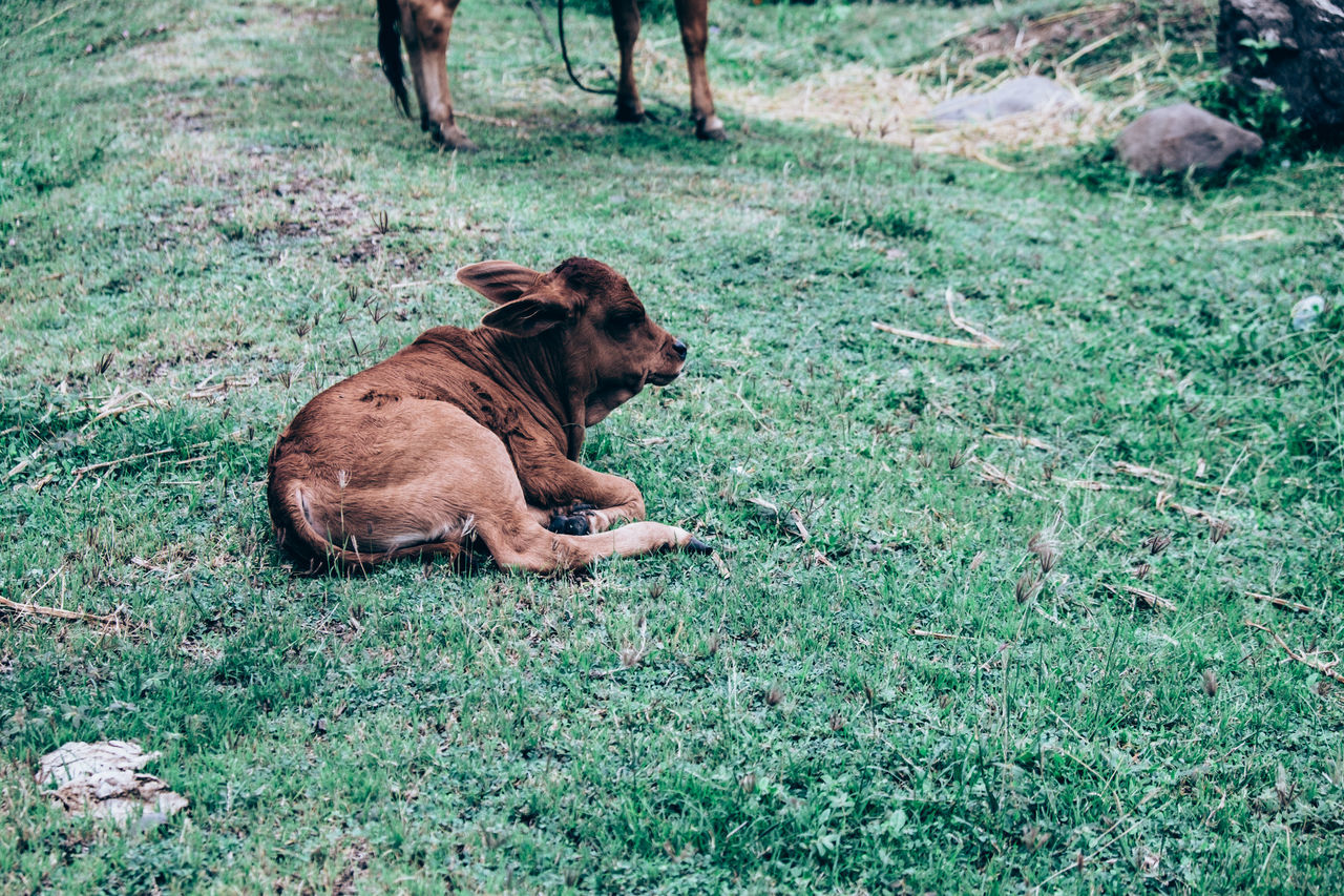 Animal Animal Care Animal Themes Animals In The Wild Bovine Calf Cattle Cow Die Domestic Animals Food Free Range Grass Grass Feed Green Color Health Mammal Meat Nature Outdoors Pets Protein Resting