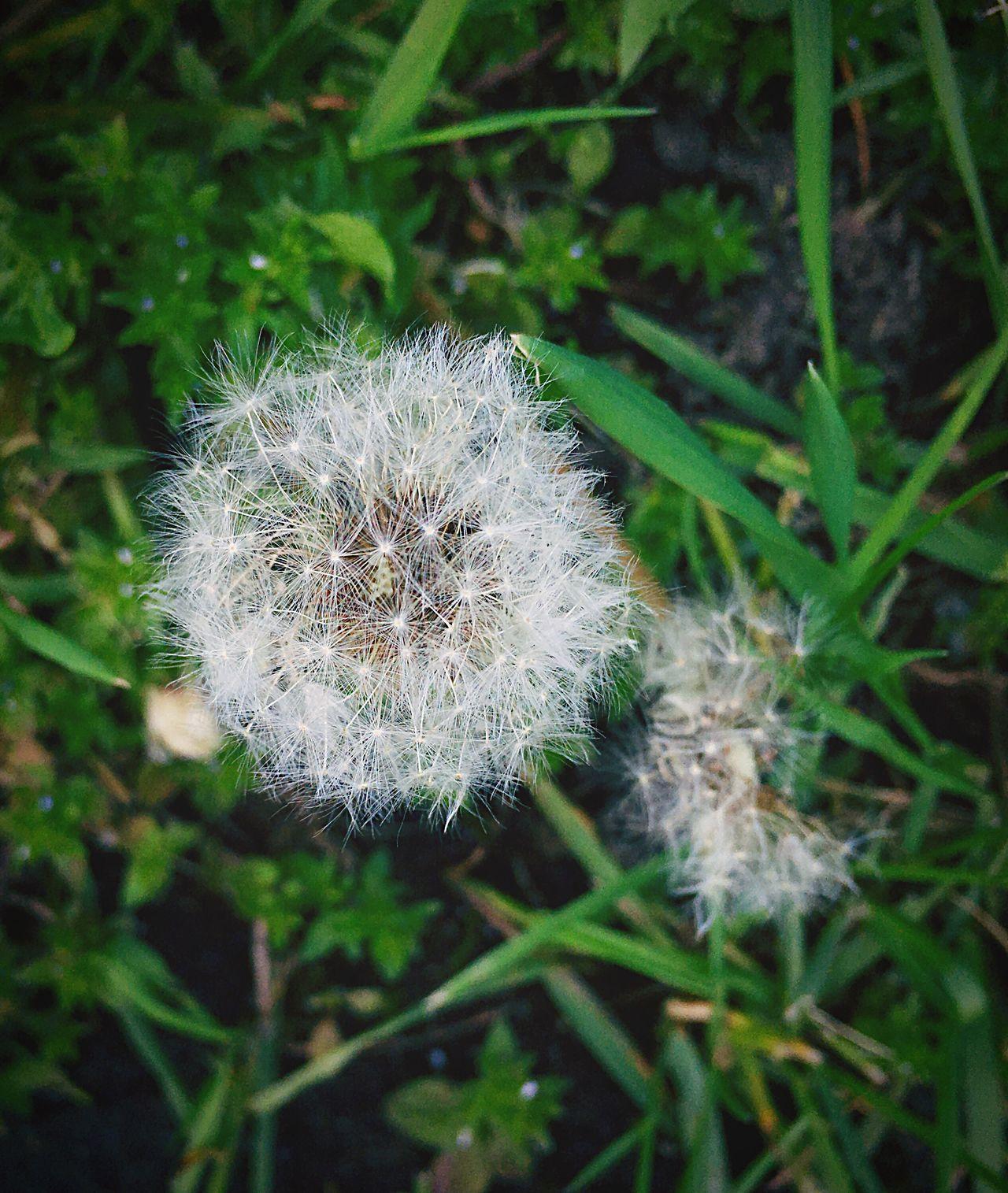 Flower Dandelion Fragility Nature Growth Flower Head Plant Beauty In Nature Softness Fuzzy Close-uppWildflowerr White ColorrFocus On Foregroundd No PeopleeDayyOutdoorssSpringtimee
