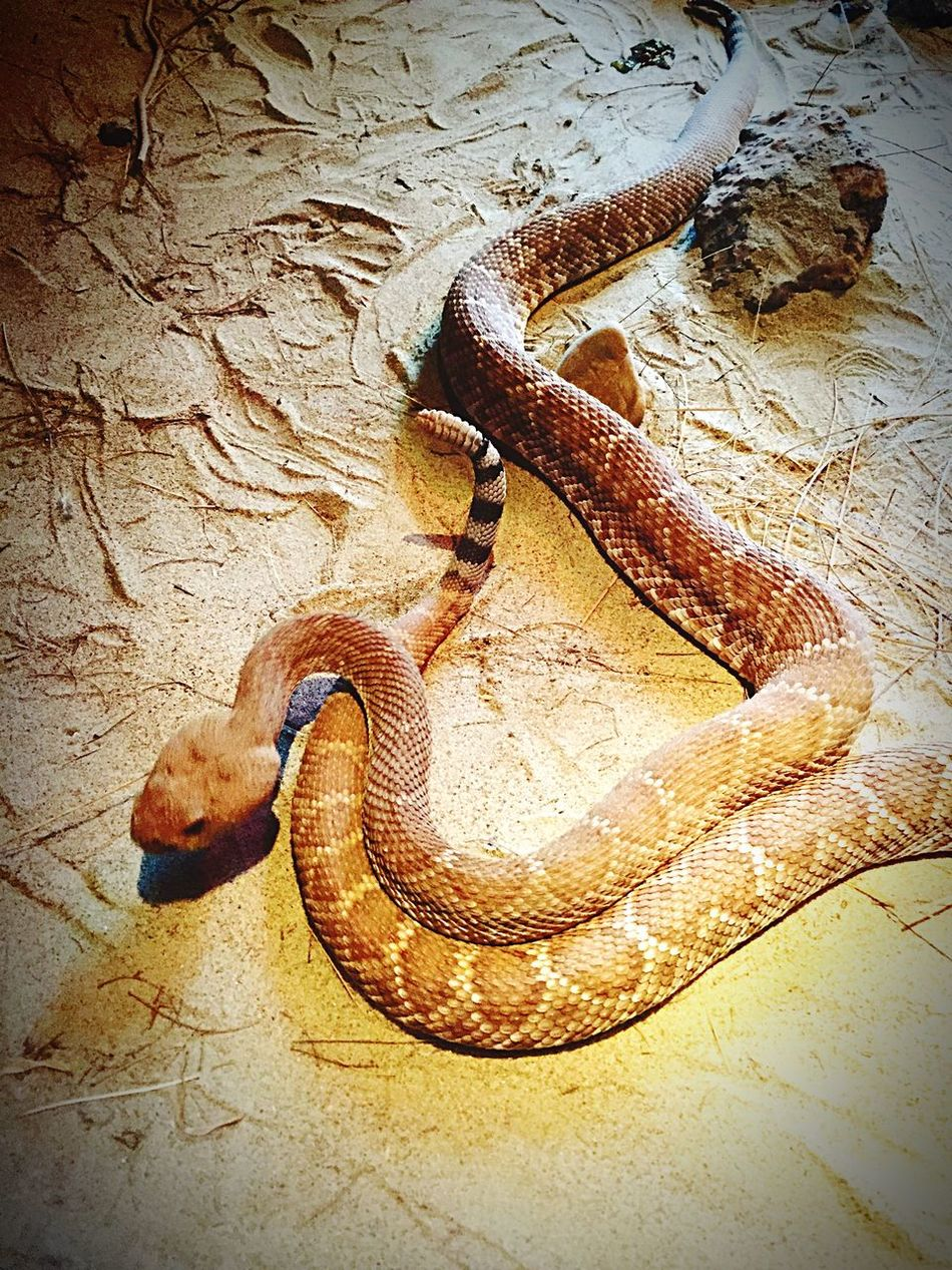 Animal Themes Reptile One Animal Animals In The Wild No People Animal Wildlife Outdoors Snake Klapperschlange Wüste 🌵