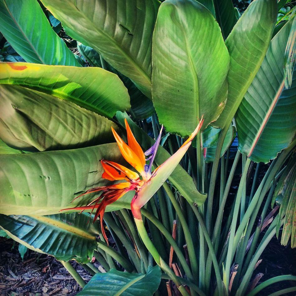 Bird of Paradise Nature Florida Paradise Flora Bird Of Paradise Plants Relaxing Enjoying The Sights Taking Photos Enjoying Life Eyemphotography Hello World Check This Out Colors Enjoying Nature Beauty In Nature Respect Nature Nature's Diversities