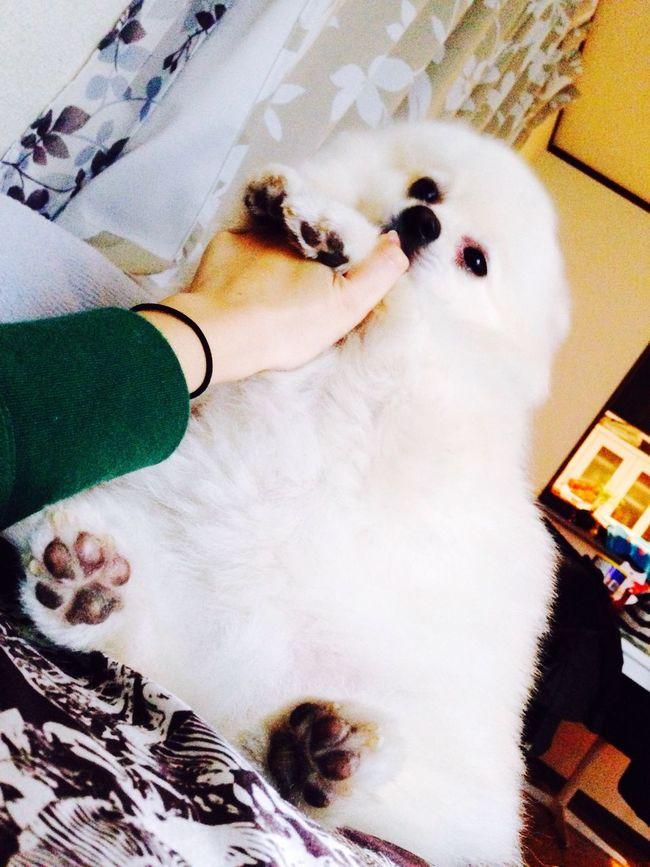 Korosuke Pomeranian I Love My Dog Dog