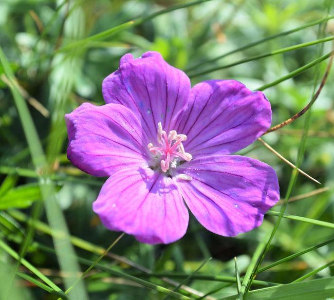Botanical Flower Botany Wild Flowers Purple Flower Corn Cockle Nature Purple