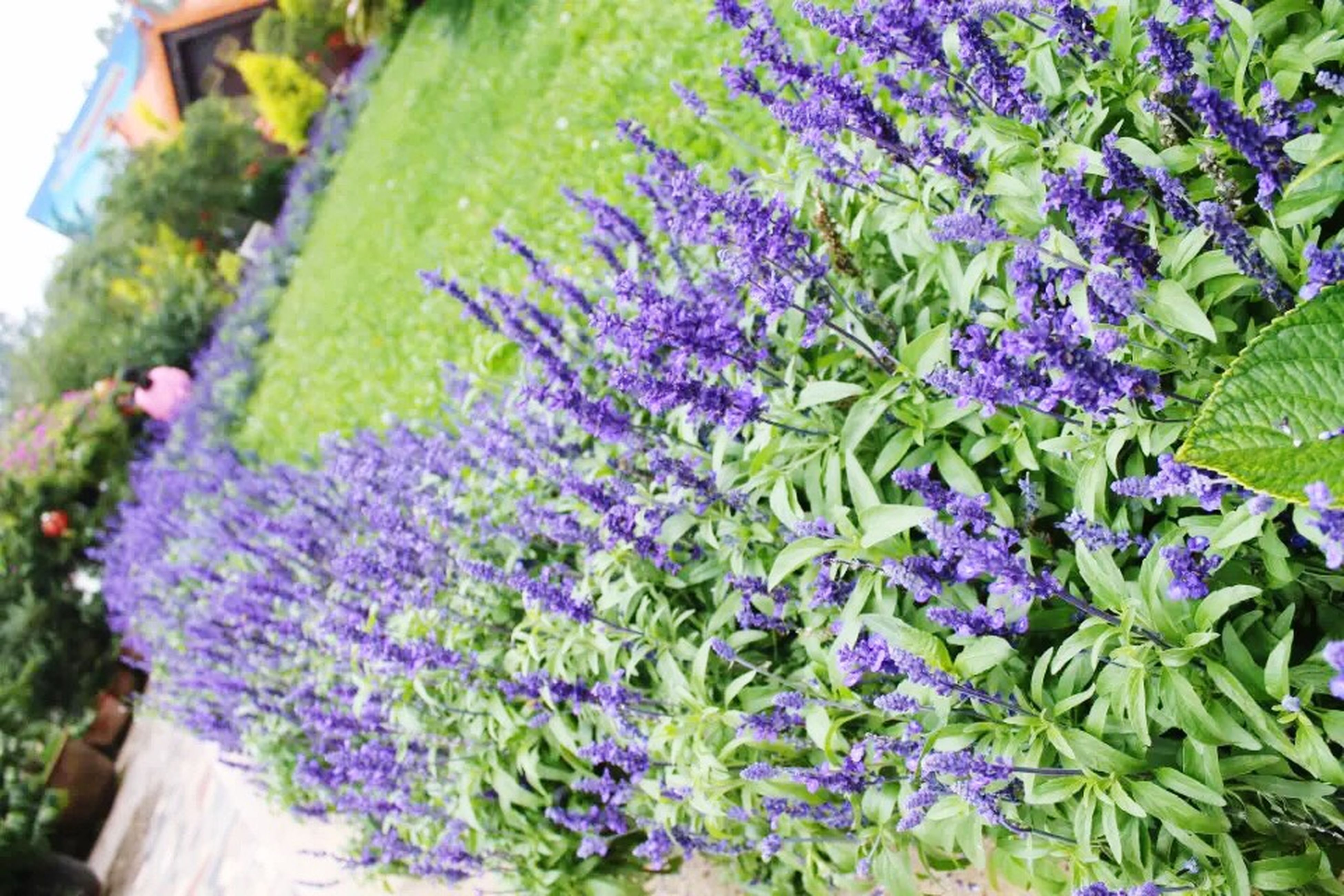 flower, growth, purple, freshness, plant, fragility, beauty in nature, leaf, nature, close-up, blooming, outdoors, building exterior, green color, day, no people, focus on foreground, in bloom, blue, petal