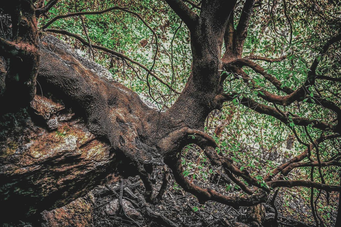 Arbre Racines Vegetale Feuilles Vert Foret Roche Tree Nature Roots Vegetal Natur Green Rock Day Landscape Environment Corse Corsica