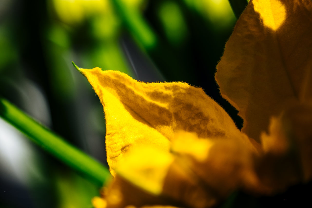 Autumn Beauty In Nature Botany Change Close-up Day Focus On Foreground Fragility Growth Leaf Leaves Natural Pattern Nature No People Outdoors Petal Plant Season  Selective Focus Yellow Yellow Color Zucchini Flower Zuchetti Zuchini Zuchini Blossom