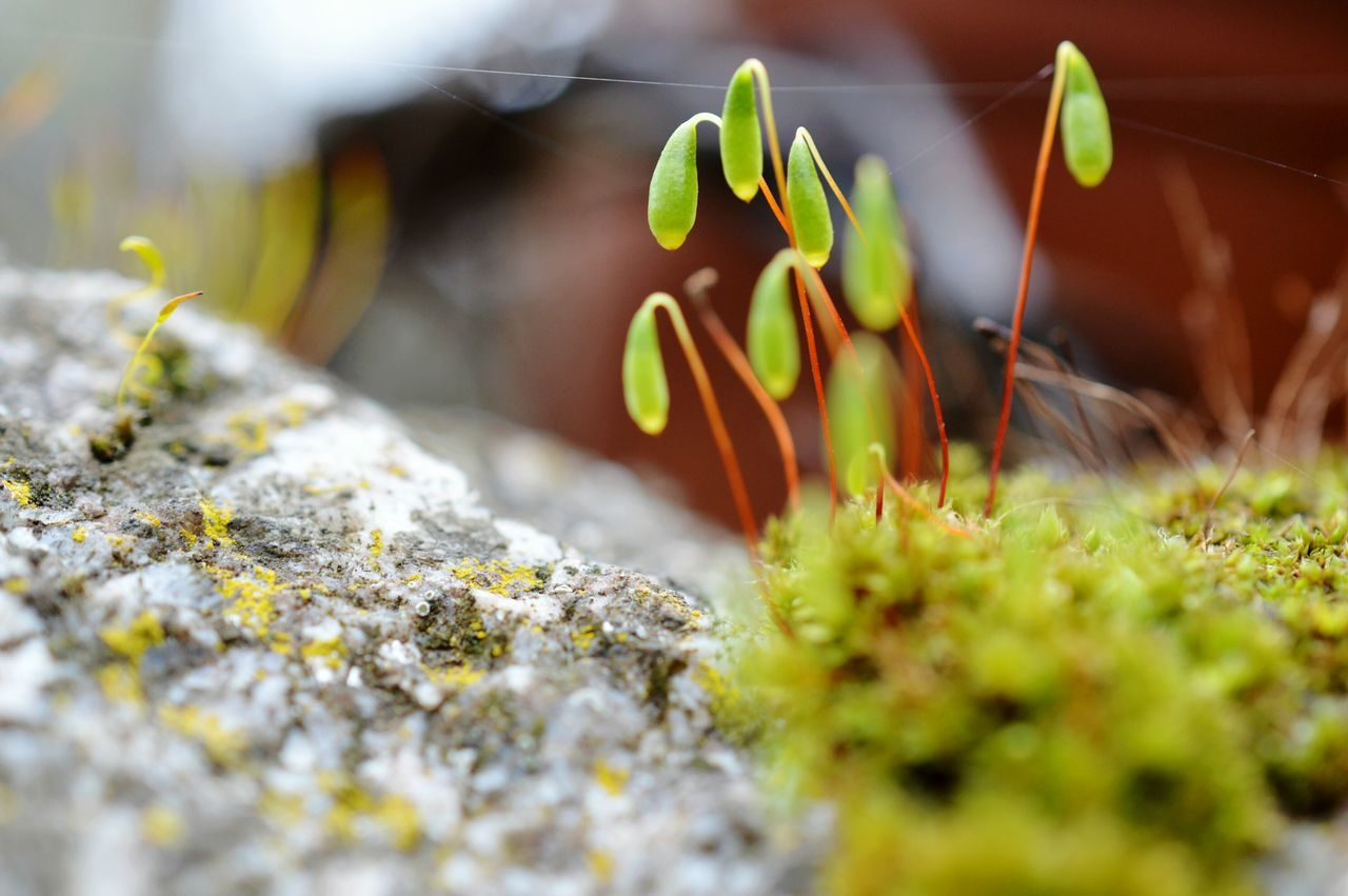 Close-up moss on a rock on a not so sunny day... Moss Mossy Close-up Closeup Nature Nature_collection Nature Photography Macro Nature Macro Macro_collection Macro Beauty Plant Plants Rock Microcosm Green Nikon Germany Beauty In Nature Growth Fragile Selective Focus Tiny Macro Photography Nature On Your Doorstep