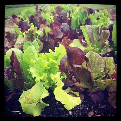 How does your garden grow? Vermont Veggies Growyourown Ignewengland organic