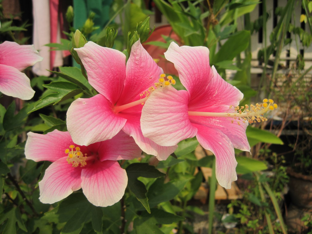 flower, petal, fragility, flower head, growth, beauty in nature, pink color, freshness, nature, blooming, plant, focus on foreground, close-up, day, outdoors, no people, periwinkle, day lily, hibiscus, petunia