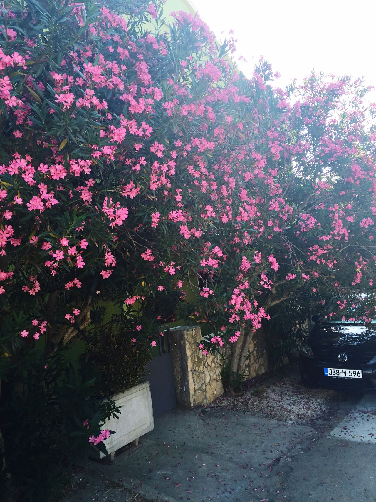TakeoverContrast Flower Tree Growth Freshness Pink Color Blossom Beauty In Nature Nature Plant Pink Day Outdoors Summer Calm On The Move Croatia
