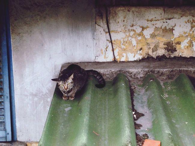 Roof cat Thai Street Cat On Roof Raining Day Hiding Under The Roof Fat Cat Bangkok