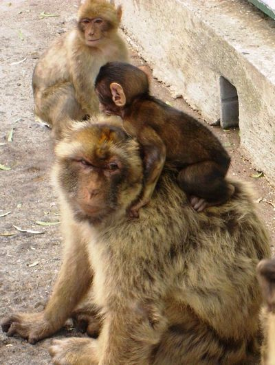 Monkey Ape Barboury Baby Piggyback Wild Ride Nature Mother Parents