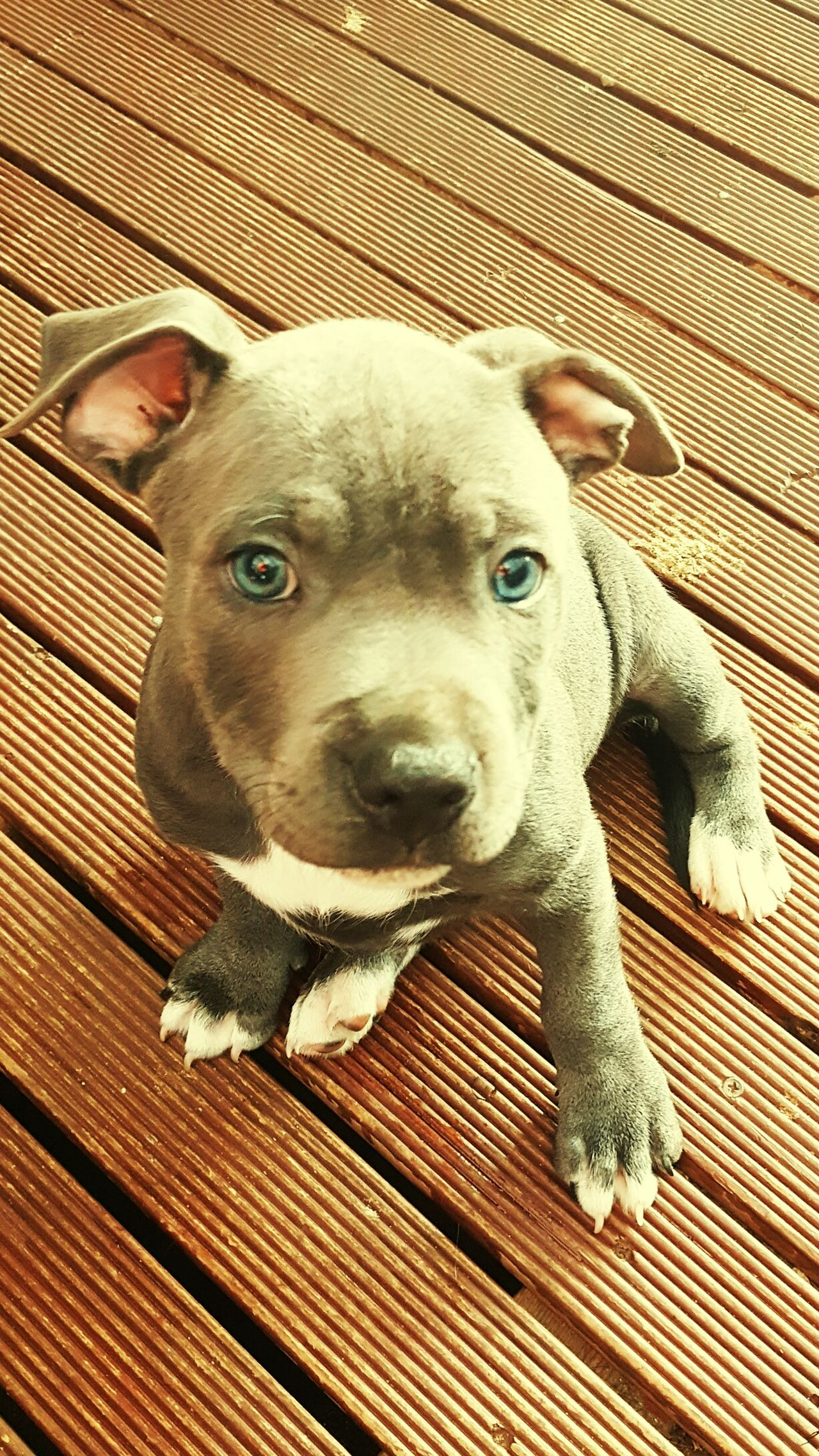 My baby blue English staffy One Animal Close-up Portrait Outdoors Day No People High Angle View Looking At Camera Dog Staffylove Staffordshire Bull Terrier Staffysmile Mammal Animal Themes Domestic Animals Pets