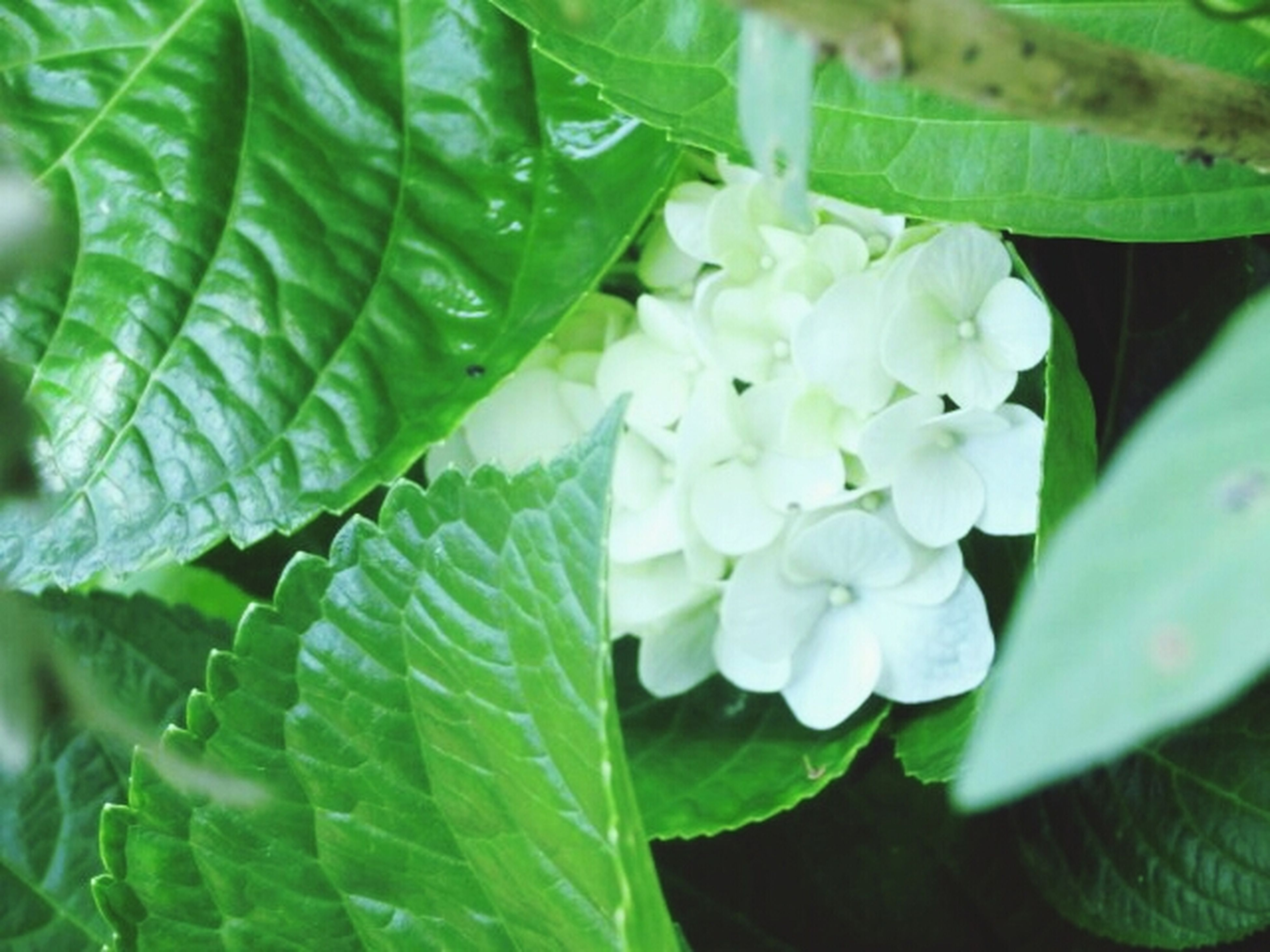 leaf, growth, freshness, green color, plant, fragility, beauty in nature, close-up, flower, nature, focus on foreground, water, petal, white color, high angle view, drop, outdoors, green, day, no people