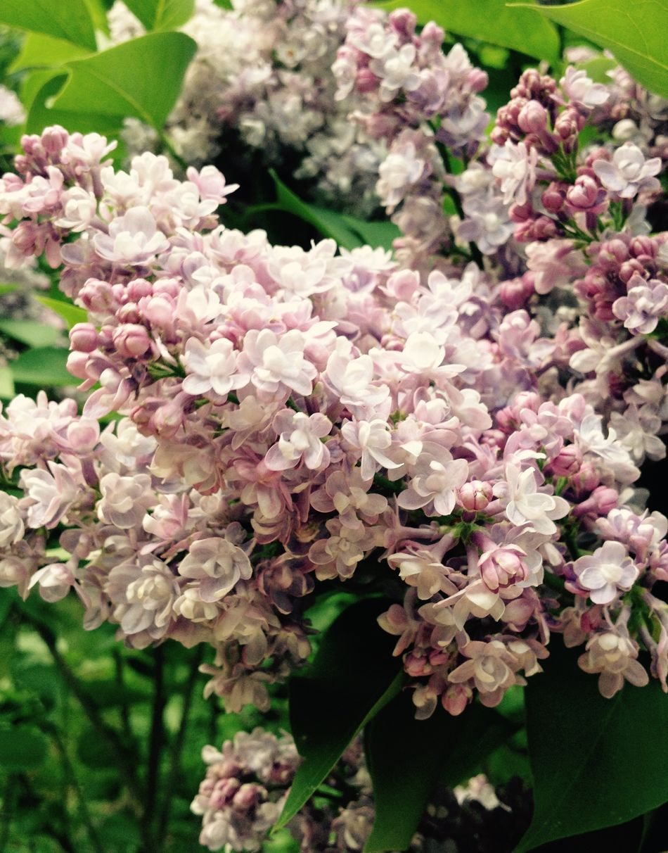 Flowers Flower Nature Nature_collection Lilas