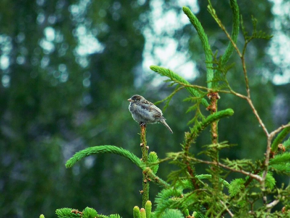 Sparrow Sparrow In A Tree Birds Outside Naturelover Naturelovers Nature_collection Nature Photography Outside Photography Nature_perfection Eyeemphotography Eyem Nature Lover EyeEm Birds EyeEm Animal Lover EyeEm Best Shots - Nature EyeEmBestPics EyeEm Gallery EyeEm Nature Lover EyeEm Best Shots Eyem Best Shots Eyemphotography Bird Photography Bird Green Nature Natures Diversities