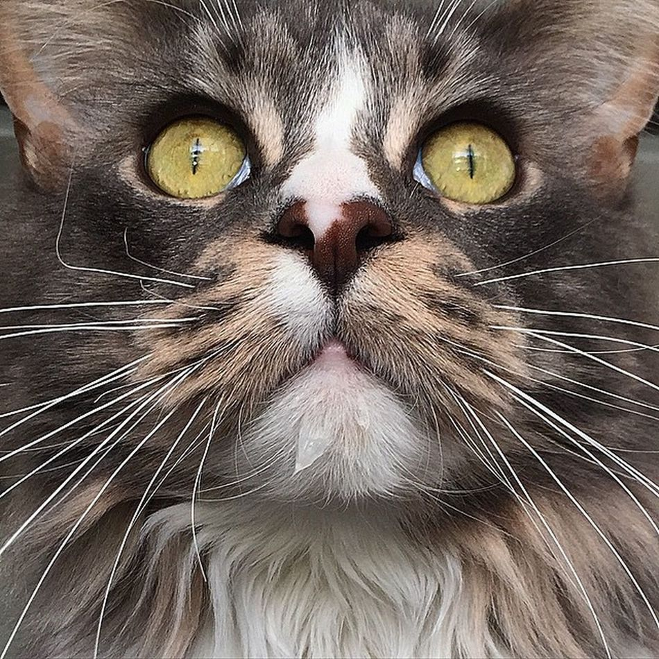 Mainecoon Mainecoons Mainecoonstragram Adorable animal bigcat cat cats catlover catstagram catoftheday great_captures_cats instacat ilovemycat instagramcats lovecats pet pets petsagram petstagram photooftheday TagsForLikes