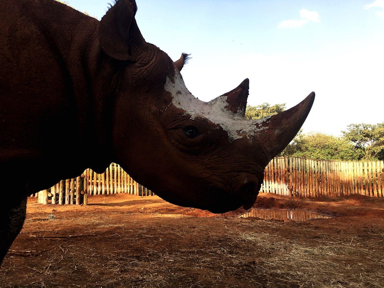 Rhino overload 🦄 Rhino Rhino Horn Kenya Nairobi Kenya Wildlife Kenya Animal