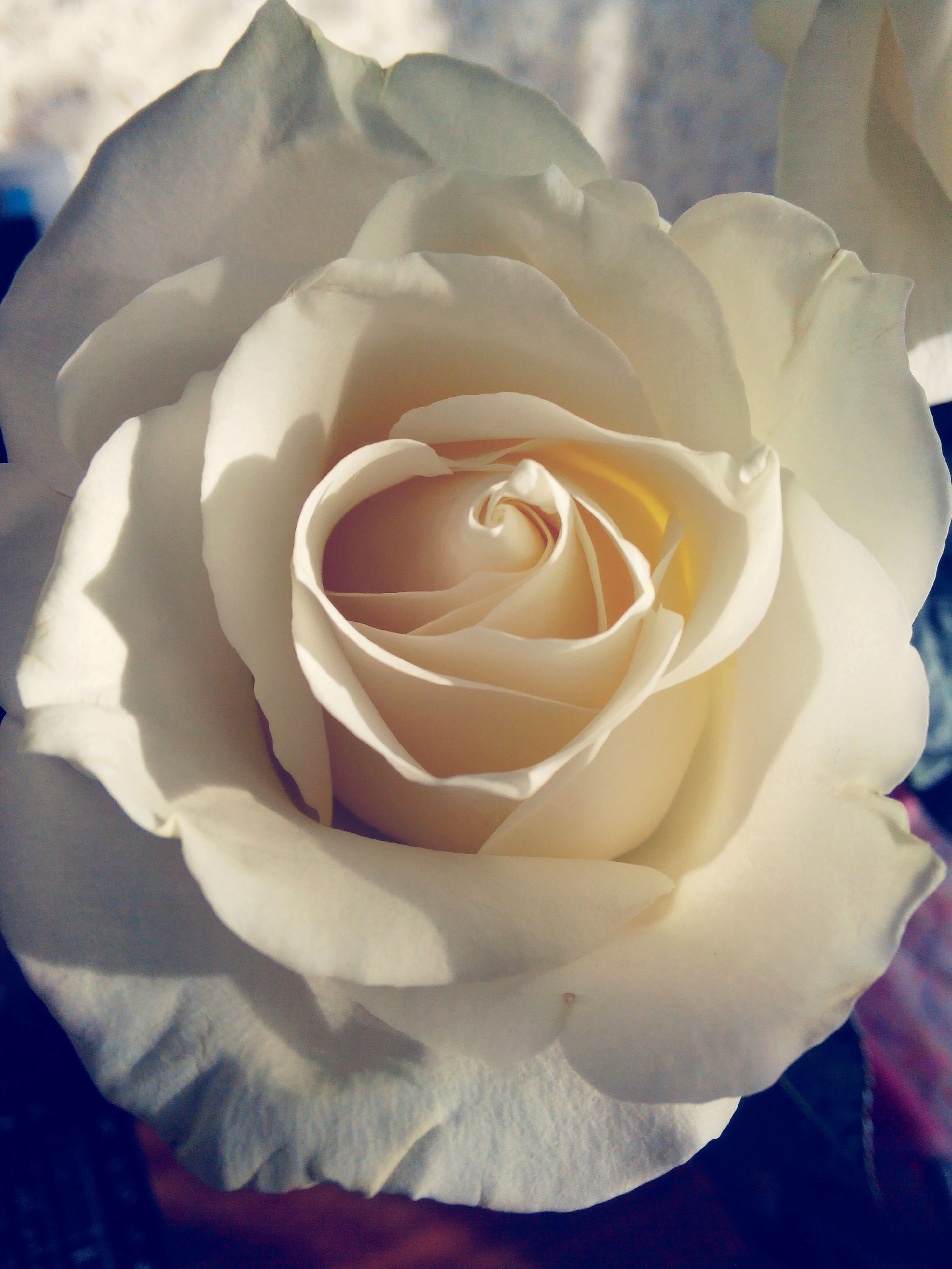 flower, rose - flower, petal, freshness, flower head, fragility, close-up, beauty in nature, rose, single flower, single rose, nature, white color, growth, blooming, focus on foreground, no people, indoors, high angle view, in bloom