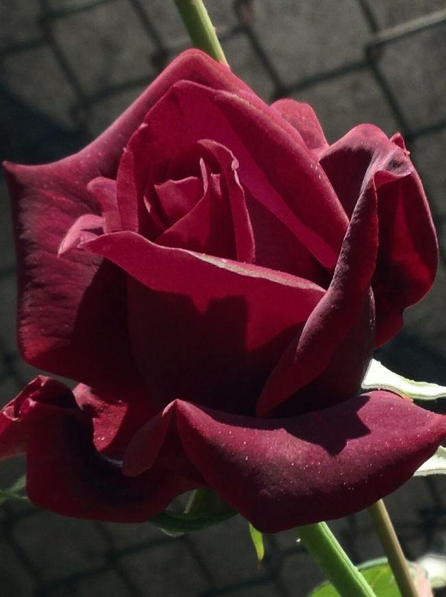 Rosas Rojas a ti, he comprado esta noche. y tu sabes muy bien lo que quiero de ti. ..De Amor ya no se muere y yo no se explicarme por que muero por ti. .si un dia te he dejado, quizas me he equivocado por que vivo de ti. .y ya no habra Caminos si quiero yo encontrarte no sabes tu por que. .adentro aqui en mi pecho no hay nadie mas que tu. .quizas el amor y las Rosas no se usan ya mas,igual yo se que estas flores de amor te hablaran,rosas rojas a ti he comprado esta noche, y tu sabes muy bien lo que quiero de ti. .de amor ya no se muere y quien se sienta solo no sabra mas vivir, con mi ultima esperanza, hoy te he comprado rosas, rosas rojas a ti, la calle del recuerdo es siempre la mas Larga no sabes tu por que ,adentro aqui en mi pechos no hay nadie mas que tu. .quizas el amor y las rosas no se usan ya mas, igual yo se que estas flores de amor te hablaran, rosas rojas a ti he comprado esta noche, y tu sabes muy bien lo que quiero de ti. . Flowers Macro_flower Rosas Rojas Massimo Ranieri