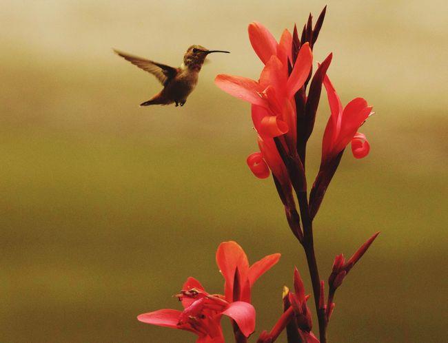 Hummingbird at the Los Angeles arboretum Humming Bird Humming Bird Flying Hummingbirds Flowers