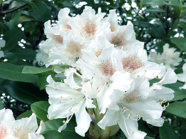 Rhododendron in the city park under spring Beauty In Nature Beauty In Nature Blooming Blossom Botanical City Close-up Day Flower Fragility Freshness Growth Growth Nature Nature No People Outdoors Park Rhododendron Rhododendrons Seascape Springtime Summer Tree White Color