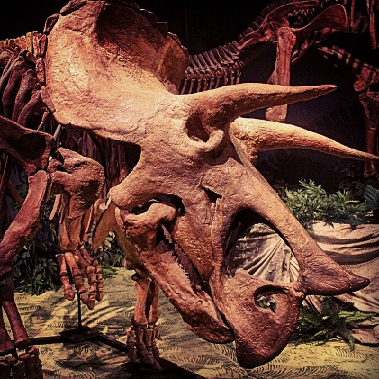 Rhino Manyyears Bones Animals naturebeutifullyearspast