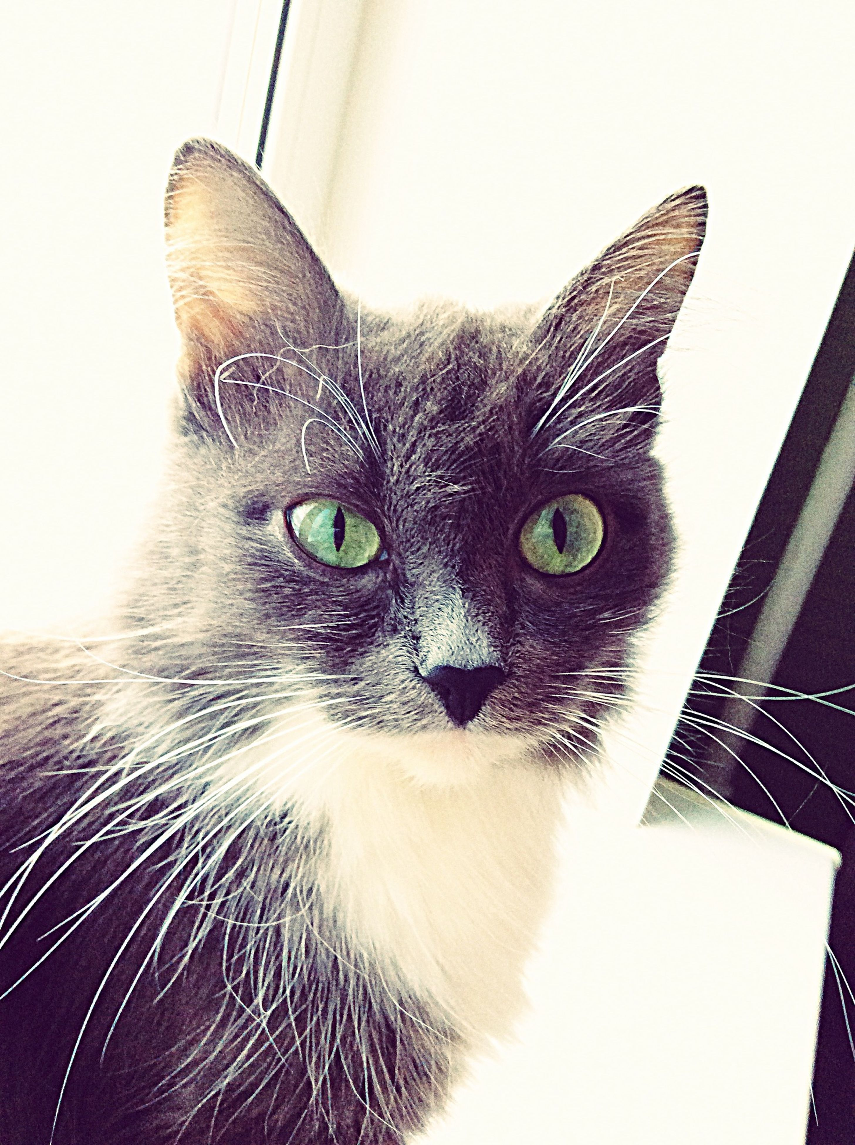 domestic cat, cat, one animal, animal themes, feline, pets, domestic animals, whisker, mammal, portrait, looking at camera, animal head, indoors, animal eye, staring, close-up, alertness, front view, animal body part