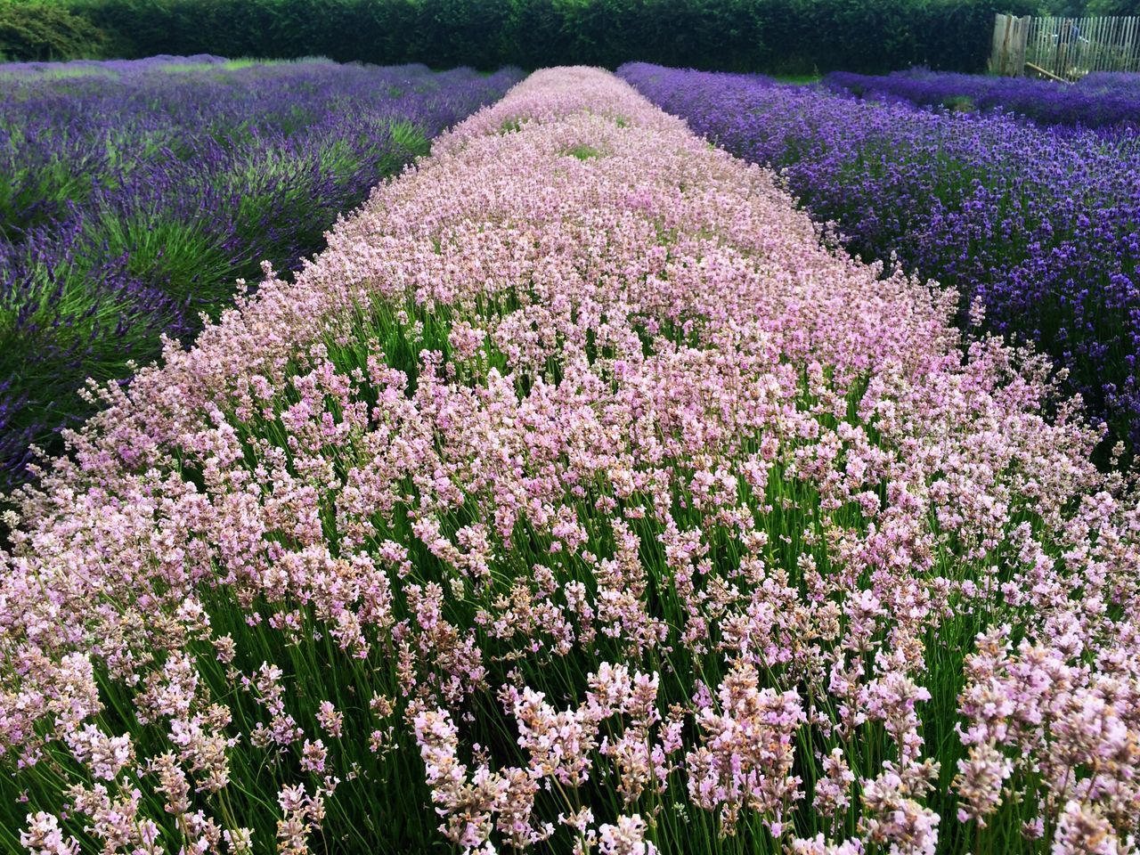 flower, purple, beauty in nature, nature, lavender colored, lavender, fragility, field, blossom, no people, growth, freshness, tranquility, plant, scenics, springtime, outdoors, landscape, day, flowerbed, perfume, flower head