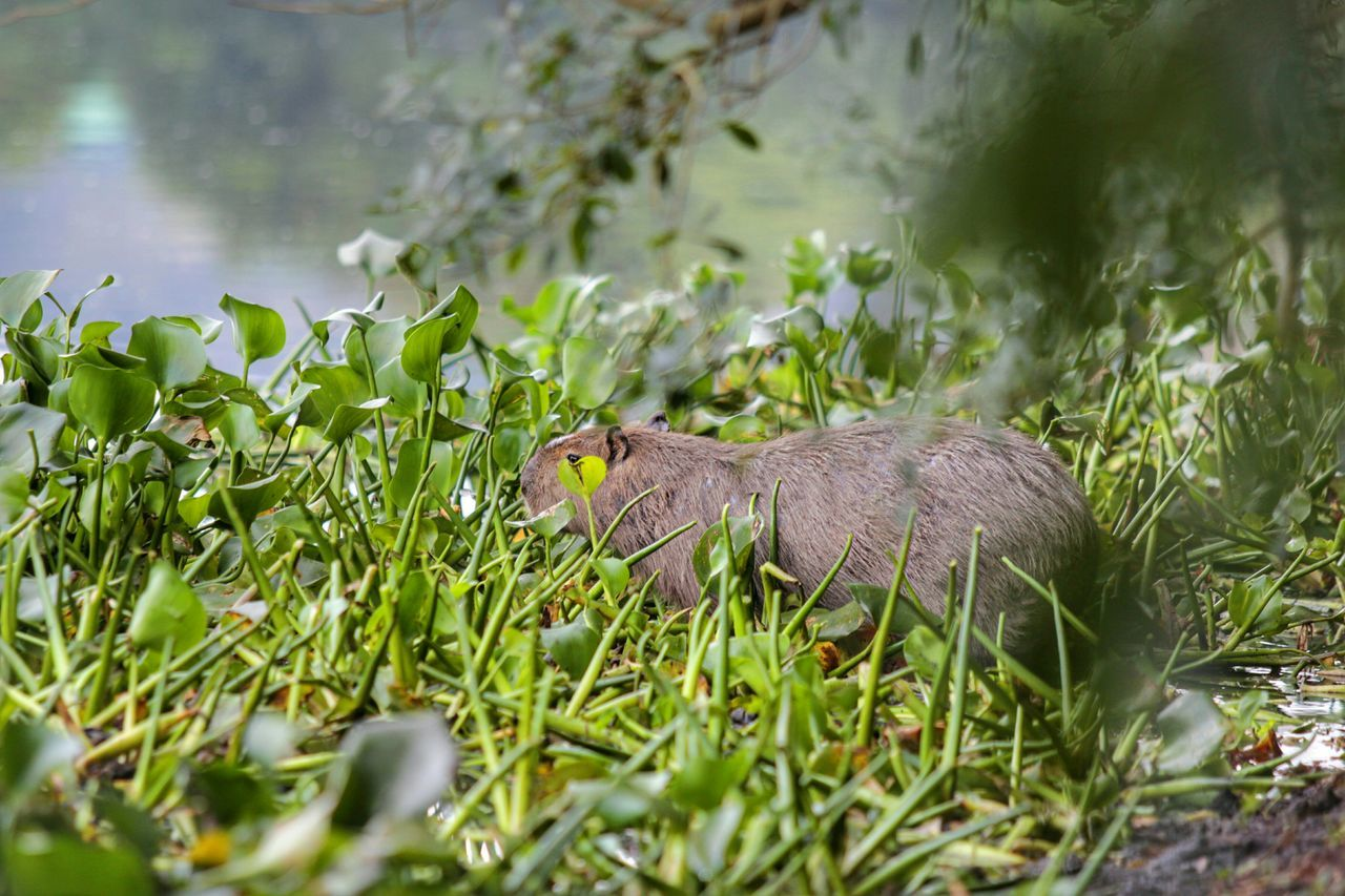 Capivara Animal Nature Photography EyeEm Best Shots - Nature Check This Out EyeEm Nature Lover Nature_collection