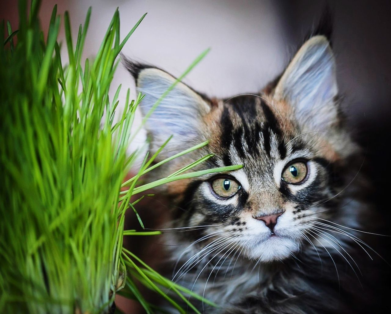 One Animal Domestic Cat Cat Looking At Camera Animal Head  Feline Animal Eye Pets Zoology Green Color Kitten Tabby котёнок мейнкун Mainecoon мейнкун Animal Themes Animal Head  котенок в траве Kitty