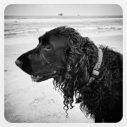IPhoneography IPSBlackWhite Blackandwhite Black & White Black And White Spaniel Field Spaniel Pets Dogs