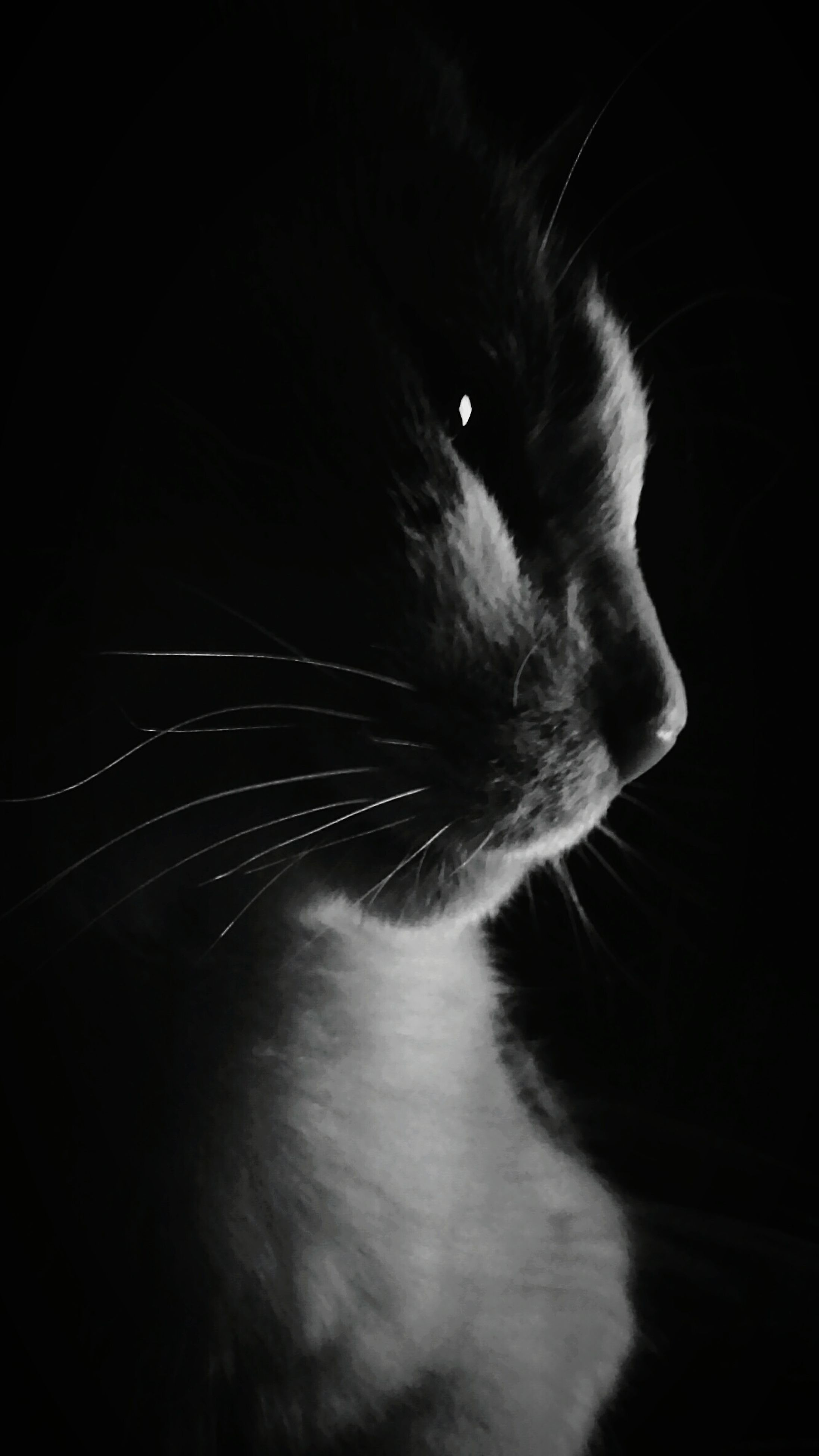 one animal, black background, animal themes, pets, domestic cat, animal body part, close-up, mammal, domestic animals, feline, no people, indoors